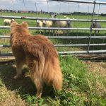 Margje Rutsen Bento schapen