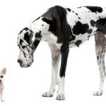 duitse dog en chihuahua